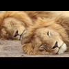 MALE LIONS RESTING