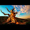ANCIENT BRISTLECONE AT SUNRISE